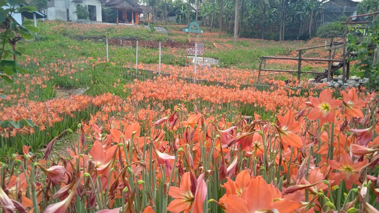 Kebun Amarilis